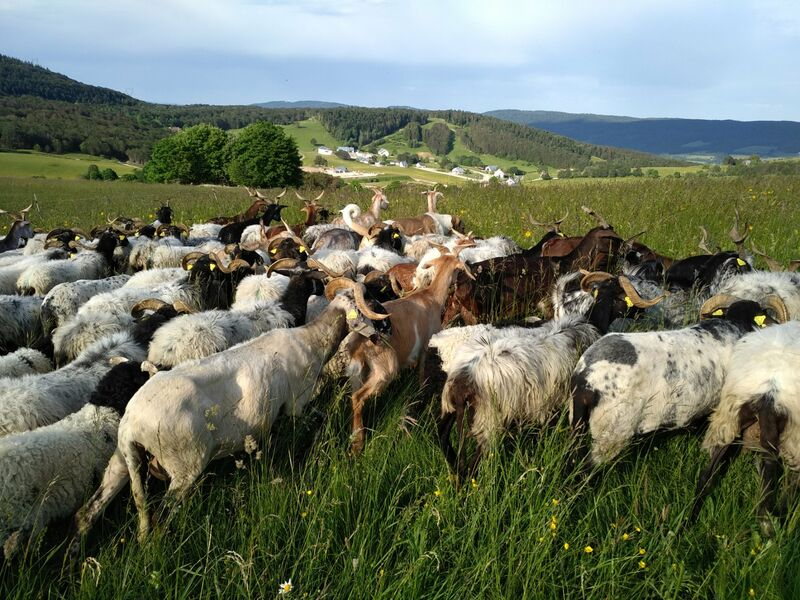 Hiking herd with the sheepfold